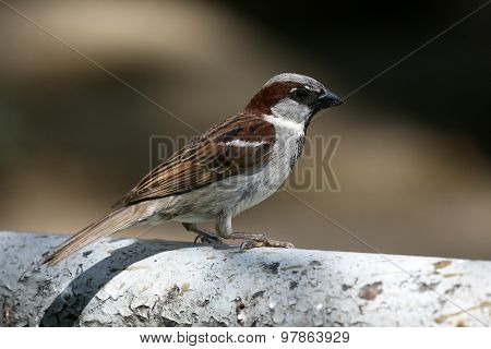 Portrait Of A Seated Sparrow