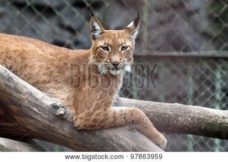 Lynx Sitting On A Branch