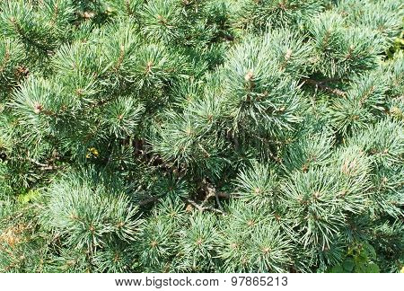 Lush fir needle closeup