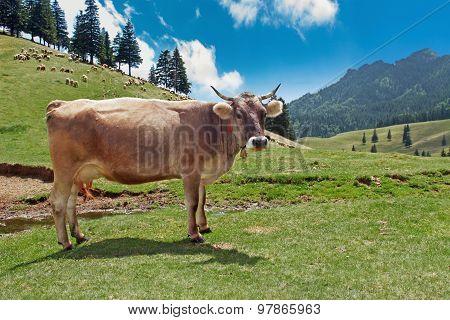 Cow in a meadow feeding