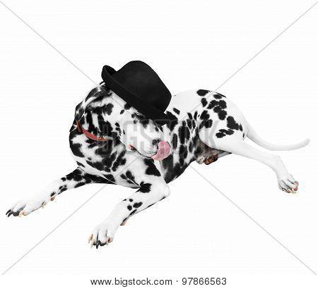 Dalmatian Dog In Black Hat Lying