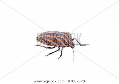 Red Black Stripe Sloe Bug On A White Background