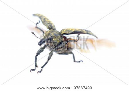 Flying Beetle On A White Background