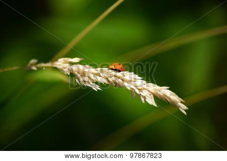 Ladybug on dry umbel