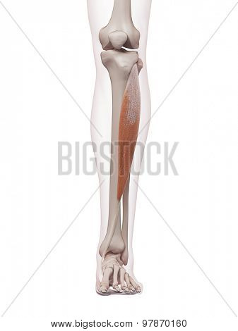 medically accurate muscle illustration of the tibialis anterior