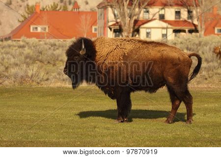 Bison In Middle Of Town