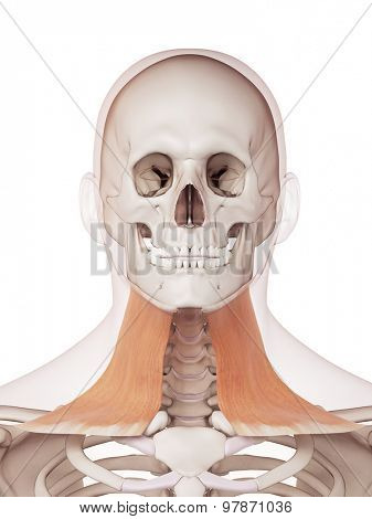 medically accurate muscle illustration of the platysma