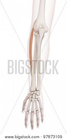 medically accurate muscle illustration of the extensor carpi radialis longus