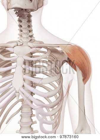 medically accurate muscle illustration of the deltoid