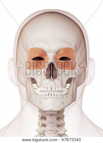 medically accurate muscle illustration of the orbicularis oculi