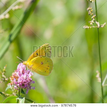 Orange Sulphur On Red Clover