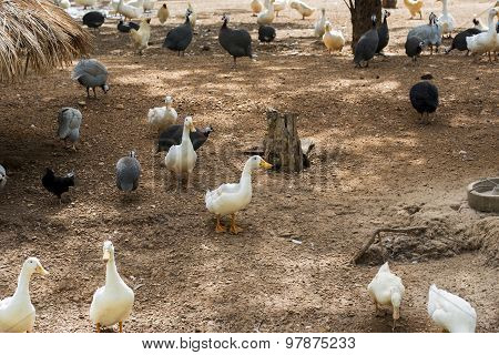 White ducks with guinea fowls looking for food on farm.