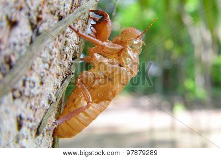 Cicada shell moult on tree