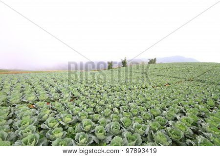 Fresh cabbage in the field