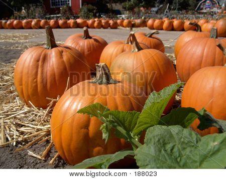 Pumpkins And Vine