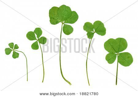 Green clovers in high resolution