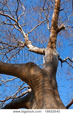 Big tree with branches and clear blue sky