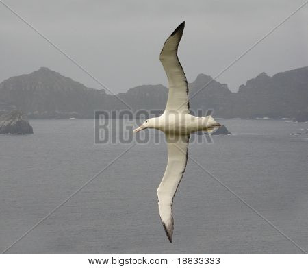 Royal Albatross in flight