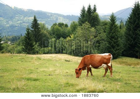 Green Meadow In Mountains And Cow