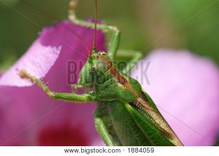 Locust Meal