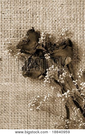 Withered dried roses on sacking background Romantic vintage still life Sepia