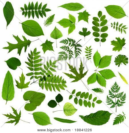 All sorts of green leaves from trees and shrubs isolated on white background