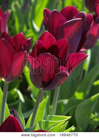 photograph of the famous dutch tulipfields, these are all new species