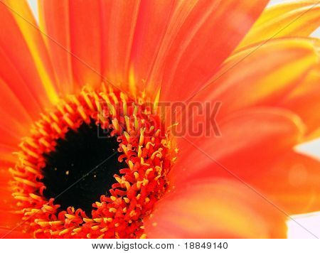 cross process reproduction showing a orange gebera daisy