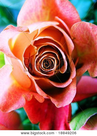 cross-process photographic reproduction/close up of a multi colored rose