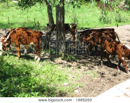 Calves Grazing