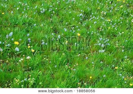 Close-up Image of Spring Meadow with Green Grass and Field Flowers