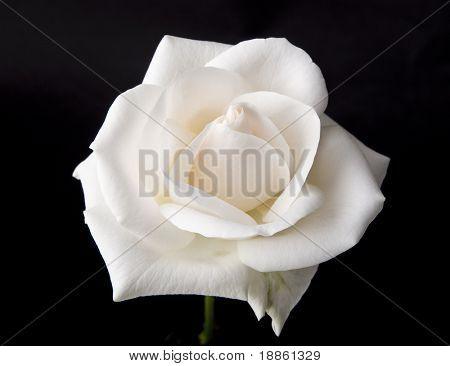 Beautiful White rose isolated on black