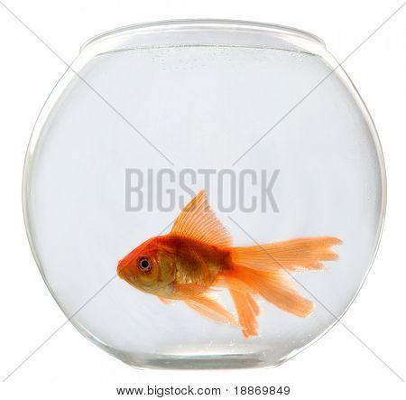 Aquarium auf weißem Hintergrund mit ein Goldfisch