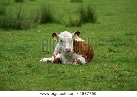 A Calf Resting.