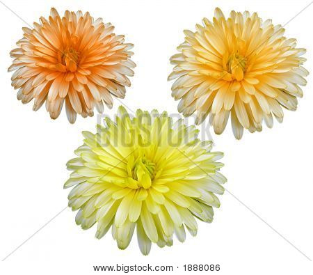 Calendula In 3 Colour Isolated