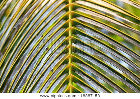 Coconut Leaf To Be Dying