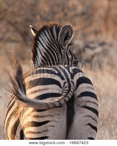 Zebra looking back at dusk
