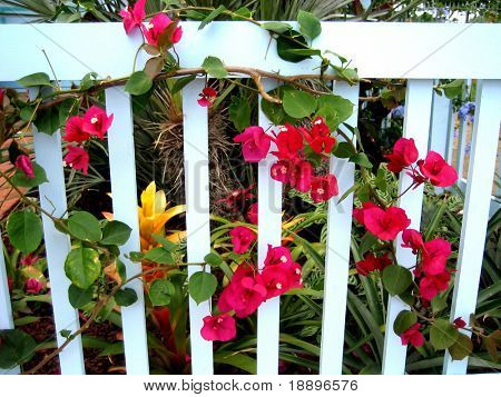 Pink bougainvillea flowers on wooden fence