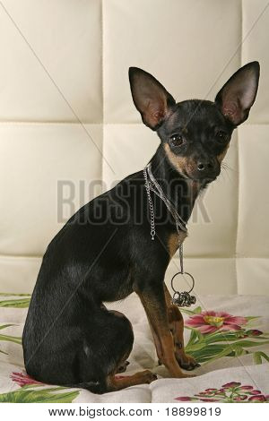 black Toy terrier sitting on a bed and looking at camera