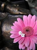 picture of small-flower  - artistic photograph of two tiny white flowers tucked in the petals of a pink gerbera daisy with the hand of a bronze buddha statue in the background - JPG