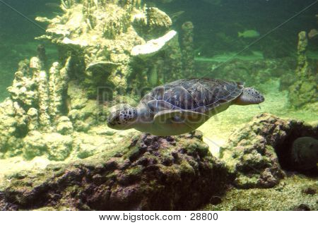 Seaturtle Swimming