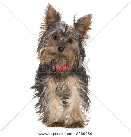 Yorkshire Terrier (5 Monate)