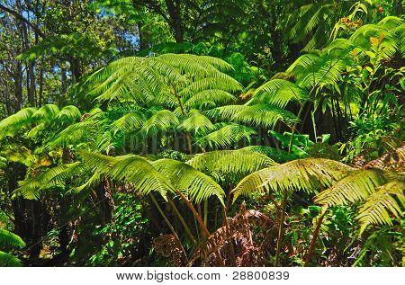 Ferns In A Rain Forest