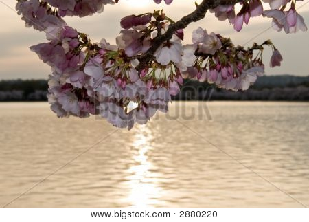 Cherry Blossom In Front Of Sunset