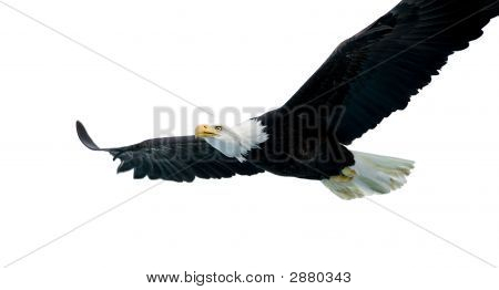 Bald Eagle (22 Years)