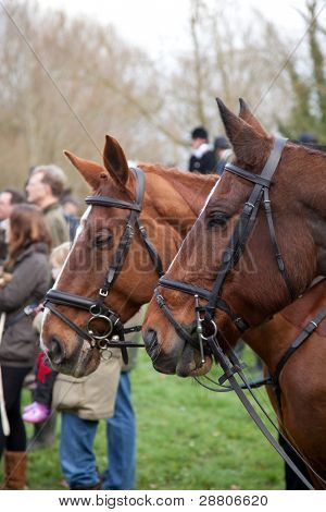 BERKSHIRE - DECEMBER 26: Horses gather at the Stanford Dingley Boxing Day Hunt on December 26, 2011 in Berkshire.
