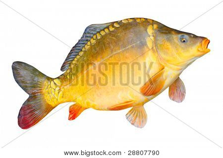 Big Common carp - Mirror Carp (Cyprinus carpio)