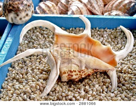 Seashell Lambis Truncata