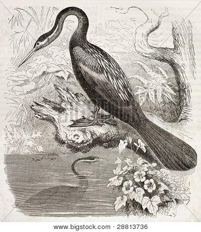 Anhinga old illustration (Anhinga anhinga). Created by Kretschmer, published on Merveilles de la Nature, Bailliere et fils, Paris, ca. 1878
