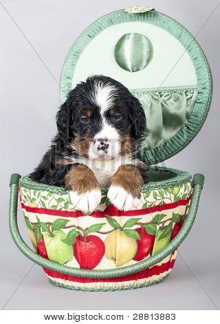 Berner Sennenhund puppy